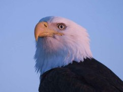 Bald Eagle Screensaver
